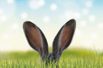 Wat is gehoorschade; Afbeelding met grote konijnenoren boven gras uitgestoken.