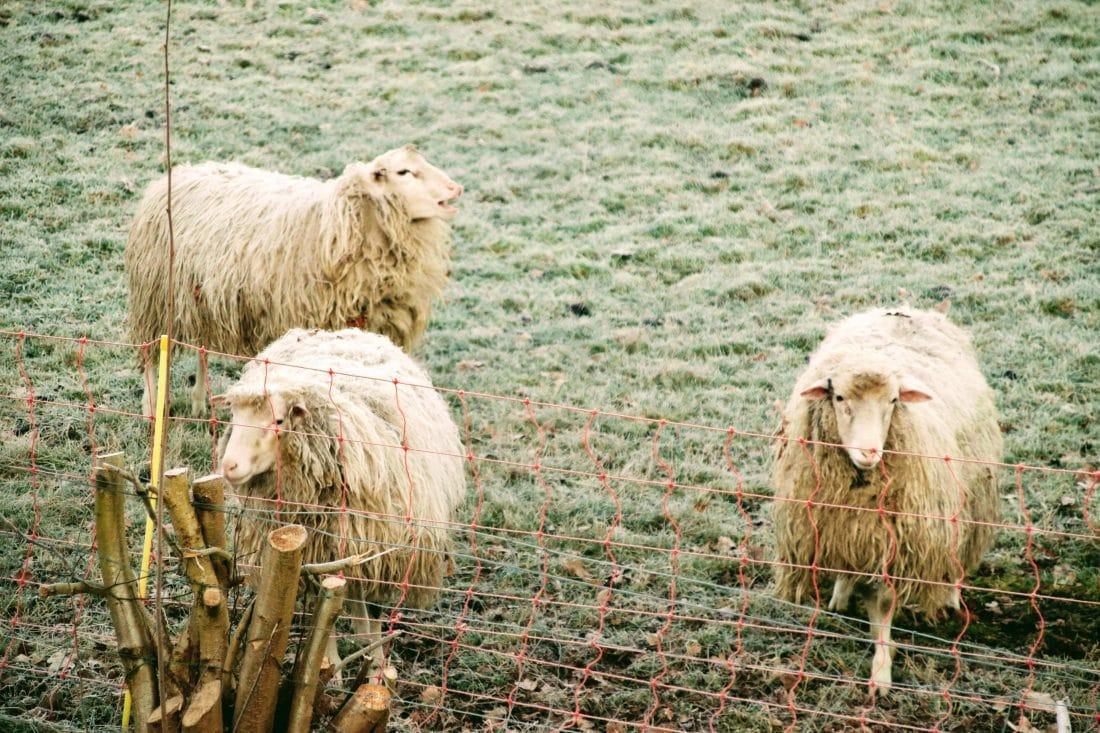 De foto's op deze pagina vertonen allen afbeeldingen van schapen. Deze wilde schapengroep was aan het wachten op de opkomende zon, om zich aan te warmen na een vrij koude nacht buiten in de natuur.